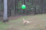 ボール遊びの天才犬