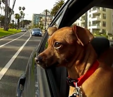 自動車に乗車中のワンコたちの表情 in カリフォルニア