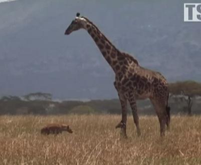 立つことができないキリンの赤ちゃんをハイエナから守る母