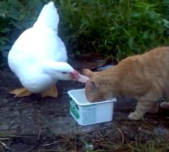 アヒルとネコ、ミルクの奪い合い