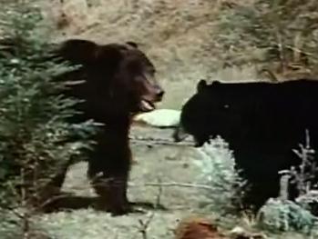 グリズリー(ハイイログマ) VS. アメリカグマ