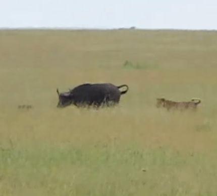 アフリカ水牛の親子 vs メスライオン 以外な展開に!