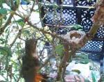 巣に近づくトカゲから卵を守るアレンハチドリ
