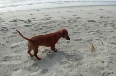 ダックスフンドのパピー vs. カニ