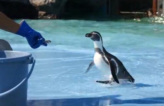 滑ったことに驚いて大パニックに陥るペンギン