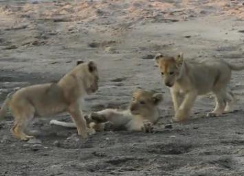 楽しそうに遊ぶ3匹のライオンの子供たち