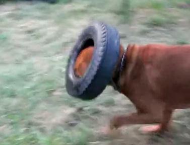 タイヤ遊びが大好きなブラッドハウンド