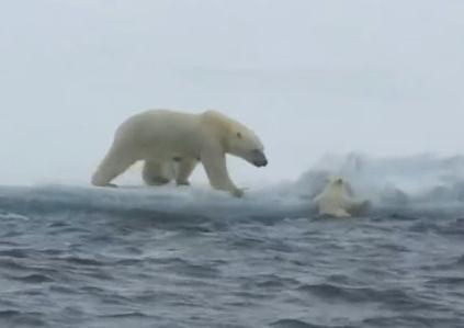 氷に登れないホッキョクグマの赤ちゃんを助ける母