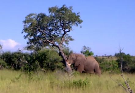 木を倒す象