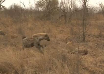 ハイエナに命を狙われる雌ライオン