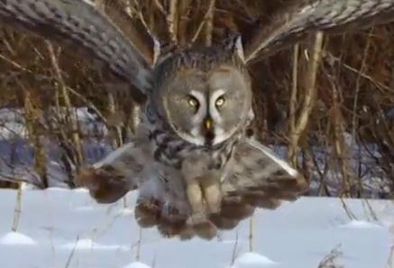 フクロウが雪の下に隠れるネズミを狩る瞬間の映像