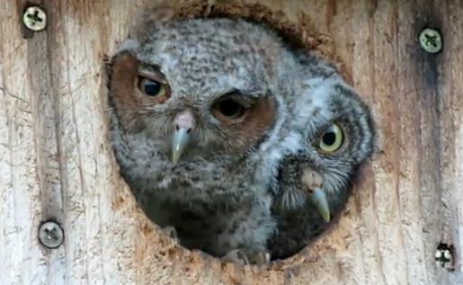 巣穴から顔を出すフクロウの赤ちゃん