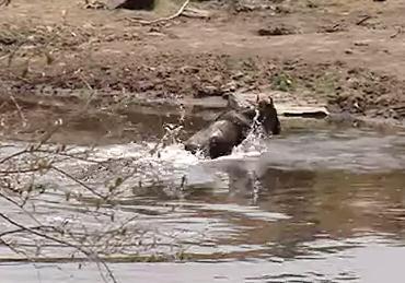 ワニに追われ、命からがら川を渡り切る1頭のヌー