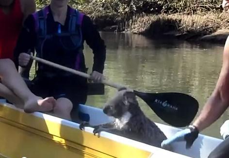 コアラが何故カヌーの上にいるのか・・・