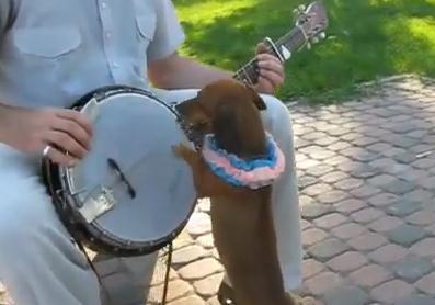 バンジョーを演奏するミニチュアダックスフンド