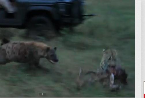 ハイエナ vs. ヒョウ [ヒョウの獲物を奪うハイエナ]