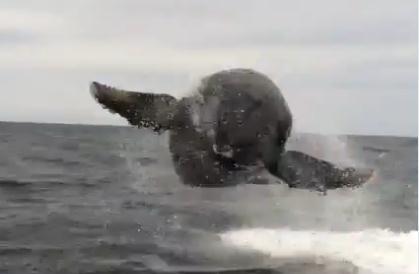 カメラの目の前でクジラがジャンプ