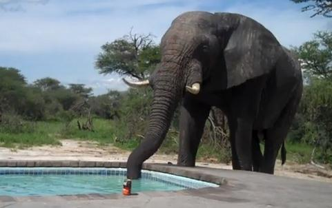 プールに象がやってきた!