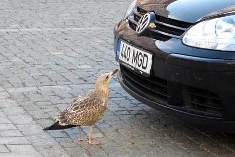 自動車のバンパーに付着した無視を食べる賢い鳥