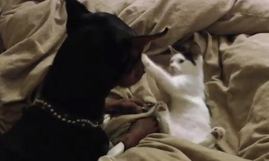 ドーベルマン vs. 子猫