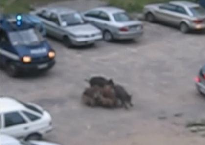 ポーランドの住宅街に現れた猪の群れ