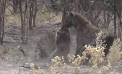 ハイエナ vs. ヒョウ 肉の奪い合い