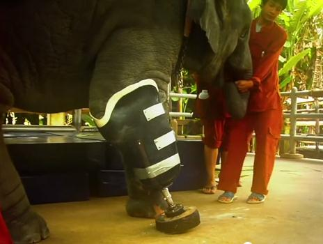 地雷で足を失ったゾウのために義足を製作