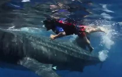 ジンベエザメと一緒にシュノーケルする5歳の男の子