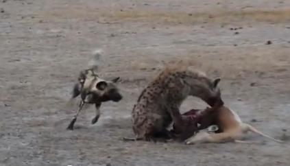 ハイエナとリカオンが獲物の奪い合いバトル。