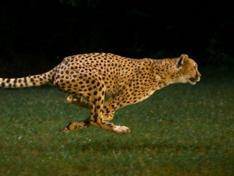 チーターの走る姿をハイスピードカメラで撮影