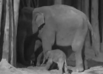 ゾウの赤ちゃんの出産映像