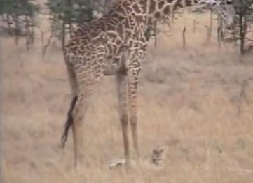 子供を殺された母キリンがライオンを激しく踏みつける
