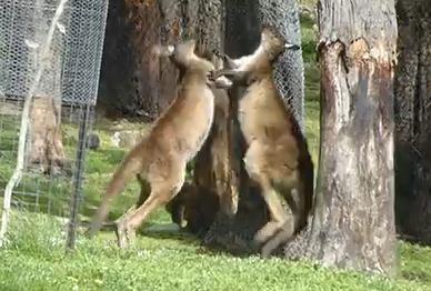 カンガルー vs. カンガルー 取っ組み合いの喧嘩