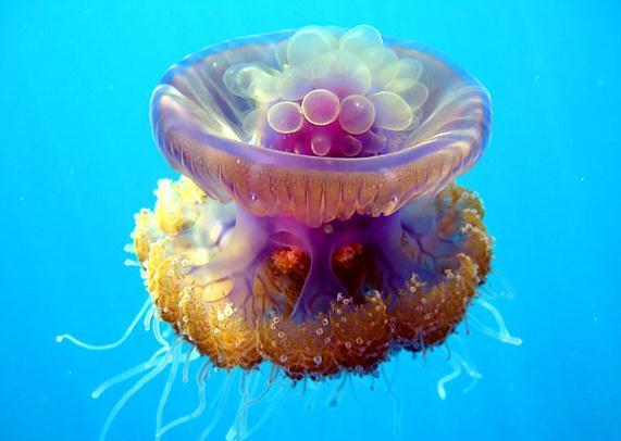 息を呑む程美しいクラゲの写真 13枚