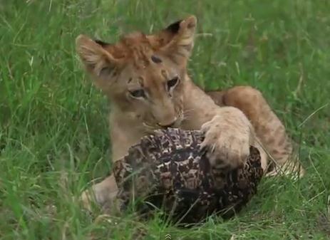 カメ vs. ライオンの子供