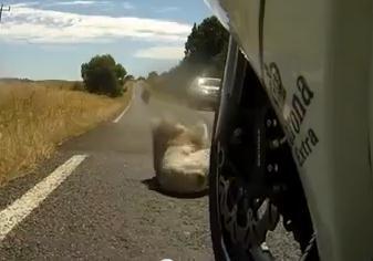 コアラがバイクにはねられる映像