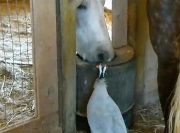 水を飲ませろ!馬から強引に水場を奪う鳥