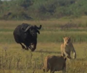 追って追われて!ライオンとアフリカ水牛の追いかけっこ