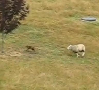 羊に追われるキツネ