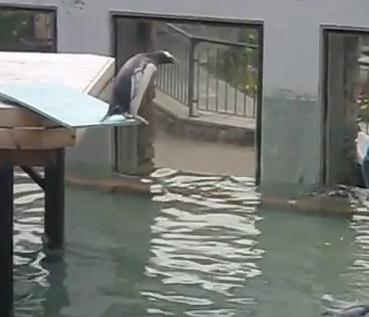 ジャンプに挑戦する怖がりなペンギン