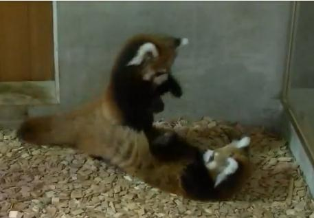 レッサーパンダに襲われるレッサーパンダ