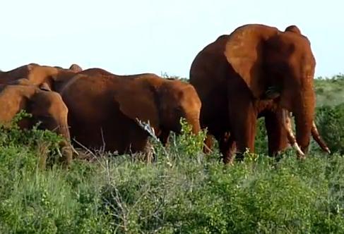 ケニアの赤い象