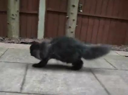 縦列の2足歩行する足を2本失ったネコ