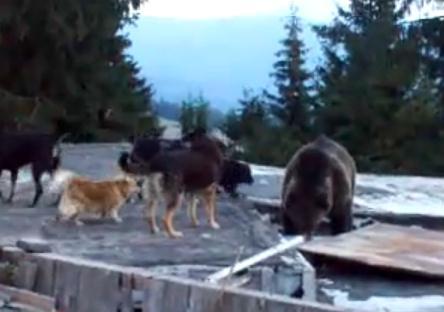 クマを追い払おうとする犬の群れ