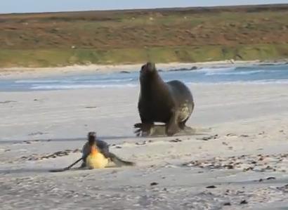 アシカに追いかけられるペンギン