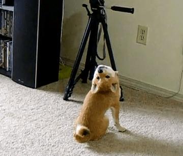 首の動きが変な柴犬