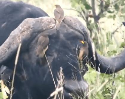 鳥に顔を掃除してもらうアフリカ水牛