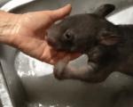 お風呂に入るウォンバットの赤ちゃん