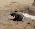 水たまりで楽しそうに遊ぶ象の赤ちゃん