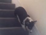 器用に階段を降りるコーギーの子供